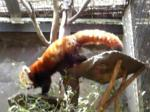ニシレッサーパンダ1