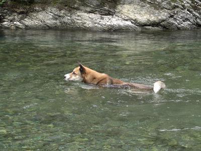 川上に泳ぐジョン