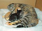 お母さん気取りで妹猫と弟猫に授乳する1歳の雌猫「モモ」