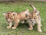 元気なライオンの赤ちゃん
