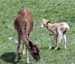 母親に寄り添うファロージカの赤ちゃん(右)
