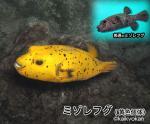 ミゾレフグ(黄色個体)