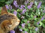タツナミソウ 紫