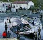 捕鯨反対の環境保護団体「グリーンピース」が発表した写真