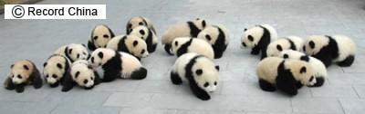 四川省臥龍市 幼稚園に向かう18匹の子パンダ