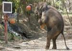 タイ北部チェンマイ県の象園で