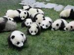 16頭の子パンダたちの映像も上映