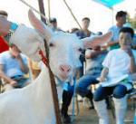 子ヤギの競り市場