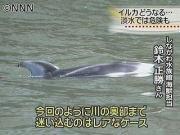 川にイルカ迷い込む 東京・北区