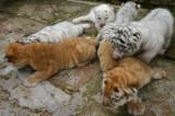 中国重慶市内のサファリパーク「野生動物世界」で
