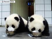 四川省の臥龍パンダ保護研究センターで生まれた双子