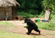 アフリカ・ギニアのボッソウ村で=松沢哲郎教授提供