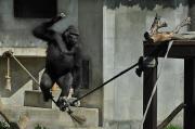 名古屋・東山動物園のゴリラ「シャバーニ」君