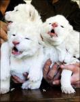 公開されたホワイトライオンの子供