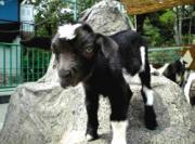 ヤギの赤ちゃん「ジャック」