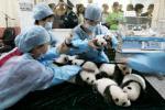 四川省成都のパンダ繁殖育成研究基地で