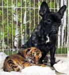赤ちゃんトラとブルドッグ 共同通信