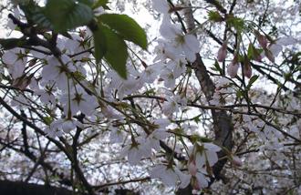 桜3248.jpg