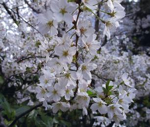 桜2247.jpg