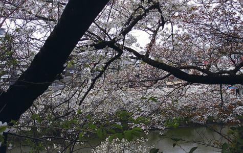 桜249.jpg
