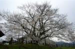 素桜の全体