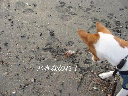 今日は蟹がいっぱい死んでいました。