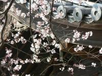 長誓寺の桜1
