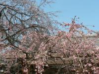 長誓寺の桜2
