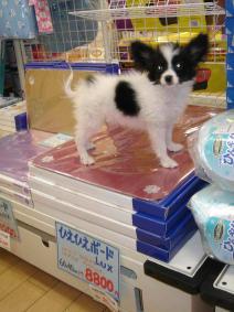 「ことしの暑さは、かなワン!」。アルミボードの上でひんやり感を楽しむ子イヌ=ペットエコ仙台松森店