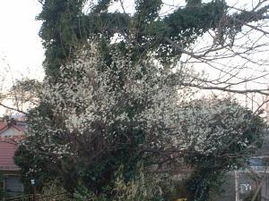 梅が咲いたぁ~