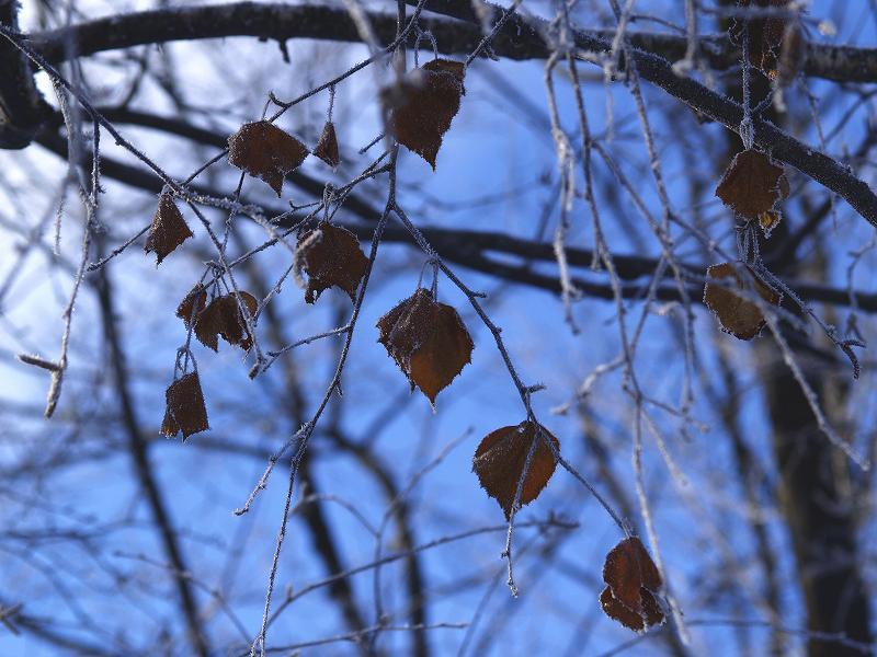 霜の付く葉