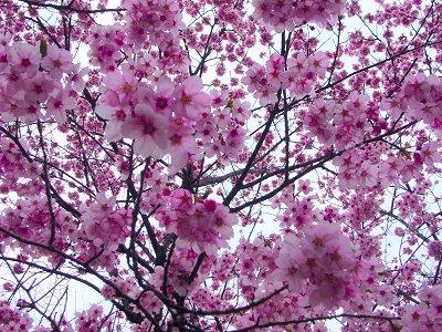 新宿御苑 桜1