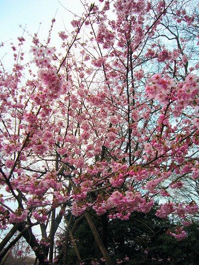 新宿御苑 桜2