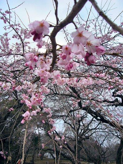 新宿御苑 枝垂桜