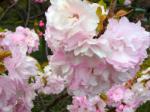 皇居東外苑(八重桜)