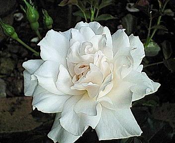 aspirin-rose2.jpg