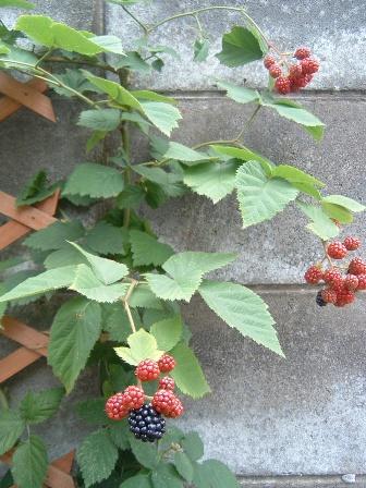 blackberry3.jpg