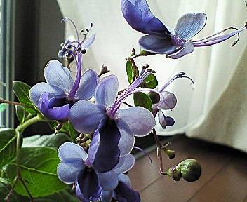 blue-wing1.jpg
