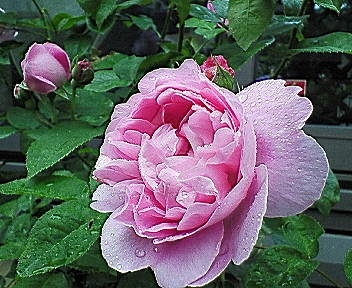 mary-rose1.jpg