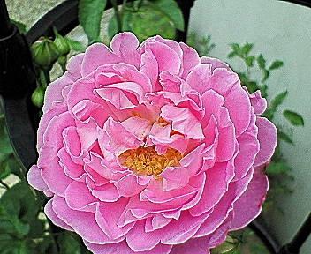 mary-rose5.jpg