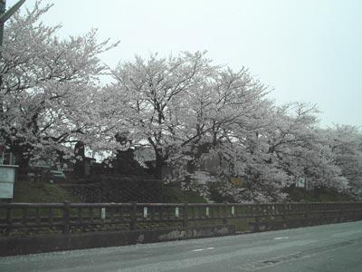 sakura-kojyo