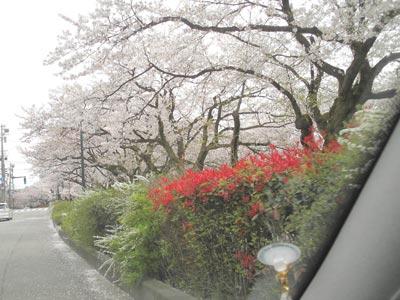 sakura-matsukawa1