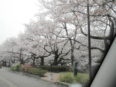 sakura-matsukawa3