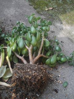 植え替え中-金の成る木