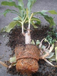 植え替え中-幸福の木