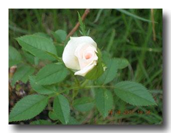 移植後の薔薇