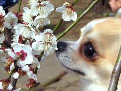 梅の花のニオイをいっぱい嗅いだよ!