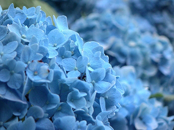 青色のセイヨウアジサイ