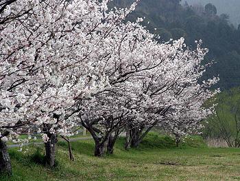 大田川河川敷に咲く桜(一昨年)