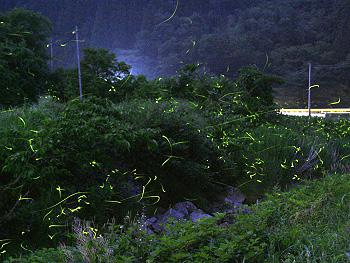 桂坂川のホタル-1